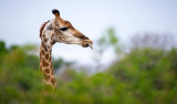 Safari på Thanda Private Game Reserve