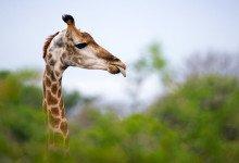 Giraffens huvud ovanför trädtopparna - Thanda Private Game Reserve