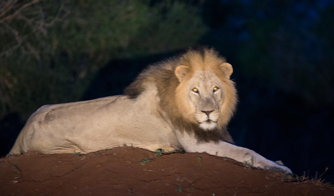 Stor lejonhane ligger och spanar uppe på en jordhög