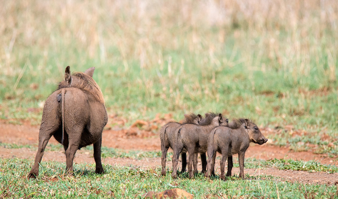 Vårtsvin, Thanda Private Game Reserve