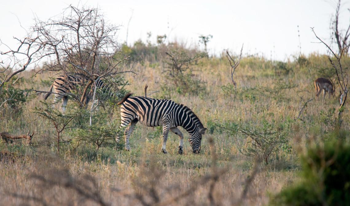 Zebra är det första djuret vi ser på morgonens game drive på Thanda Private Game Reserve