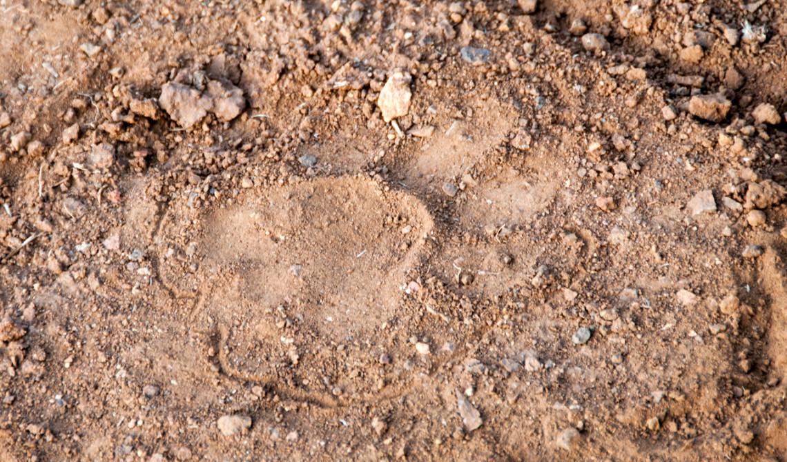 Fotspår, Thanda Private Game Reserve