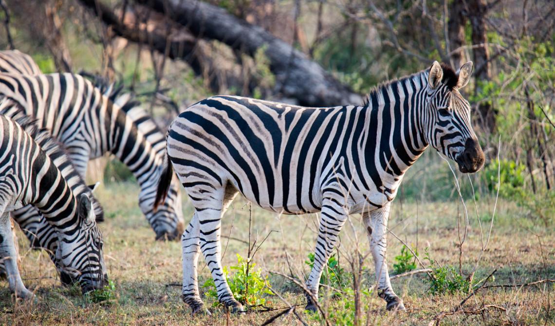 Zebror, Thanda Private Game Reserve