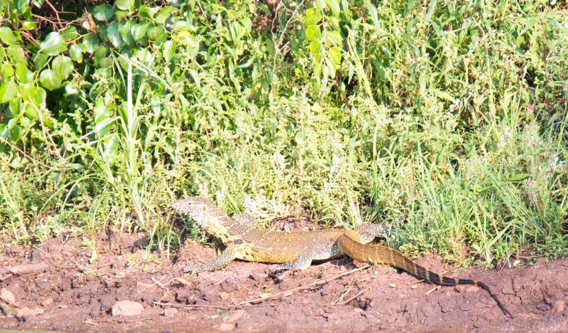 Ödla, Thanda Private Game Reserve