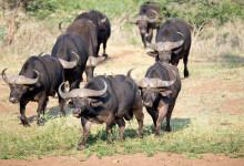 Afrikanska bufflar på väg mot vattenhål, Thanda Private Game Reserve