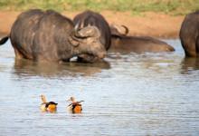 Fåglar och Afrikanska bufflar samsas i vattenhålet, Thanda Private Game Reserve