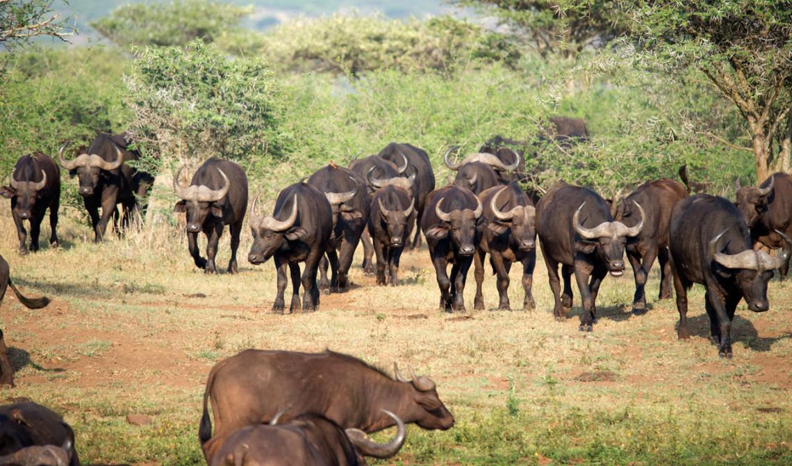 Hord av Afrikanska bufflar, Thanda Private Game Reserve