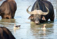 Afrikansk buffel och fålar i vattenhål, Thanda Private Game Reserve