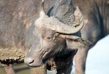 Afrikansk buffel i vattenhål, Thanda Private Game Reserve