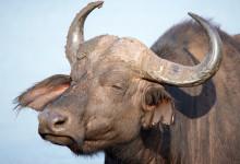 Närbild på Afrikansk buffel, Thanda Private Game Reserve