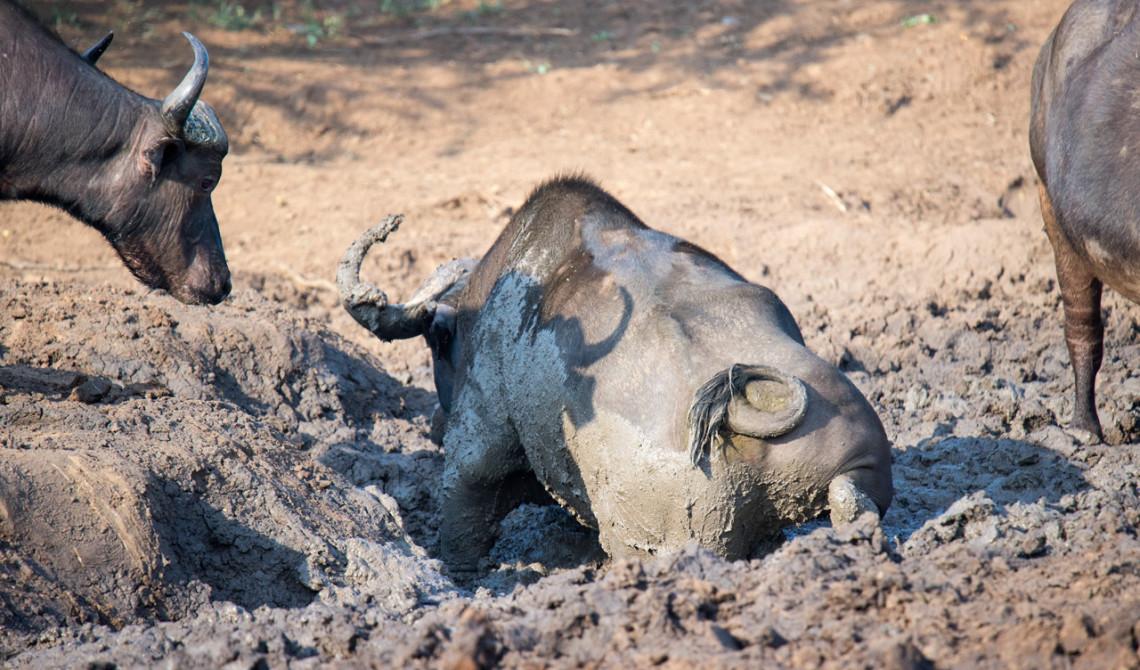 Afrikansk buffel gottar sig i lera, Thanda Private Game Reserve