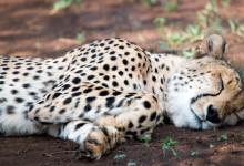 Trött Gepard, Thanda Private Game Reserve