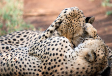 Geparder myser, Thanda Private Game Reserve