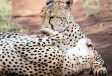 Vackra Geparder rullar runt och myser, Thanda Private Game Reserve