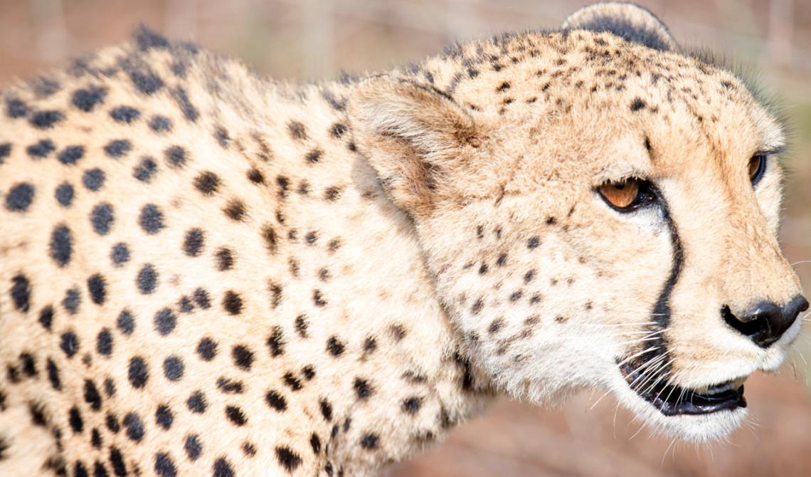Gepard på väg, Thanda Private Game Reserve