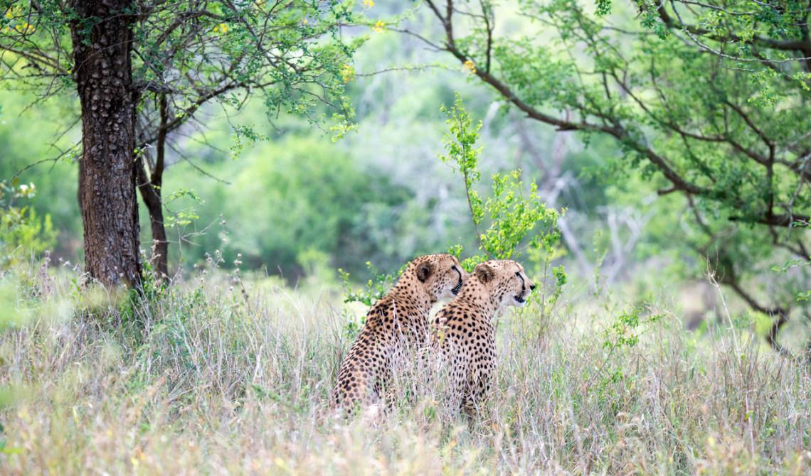 Två geparder spanar. Jakt på gång, Thanda Private Game Reserve