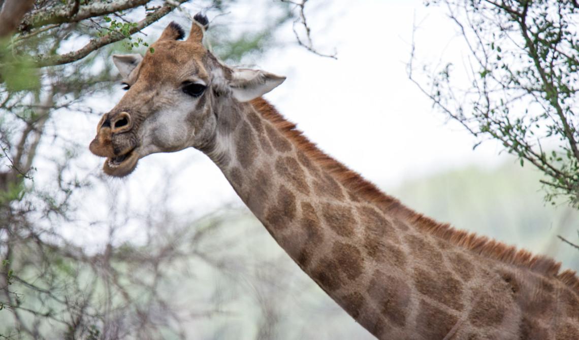 Giraff vid vår väg ut från Thanda Private Game Reserve