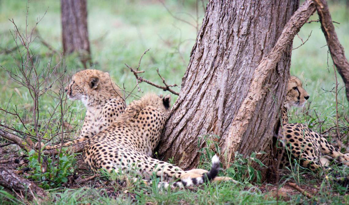 Geparder är bland de första djuren vi ser under vår första game drive på Mavela Game Lodge