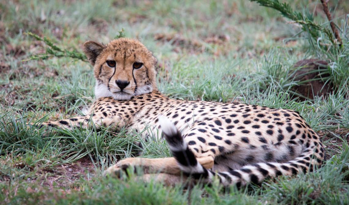 Gepard tittar upp men lägger sig snart igen, Mavela Game Lodge