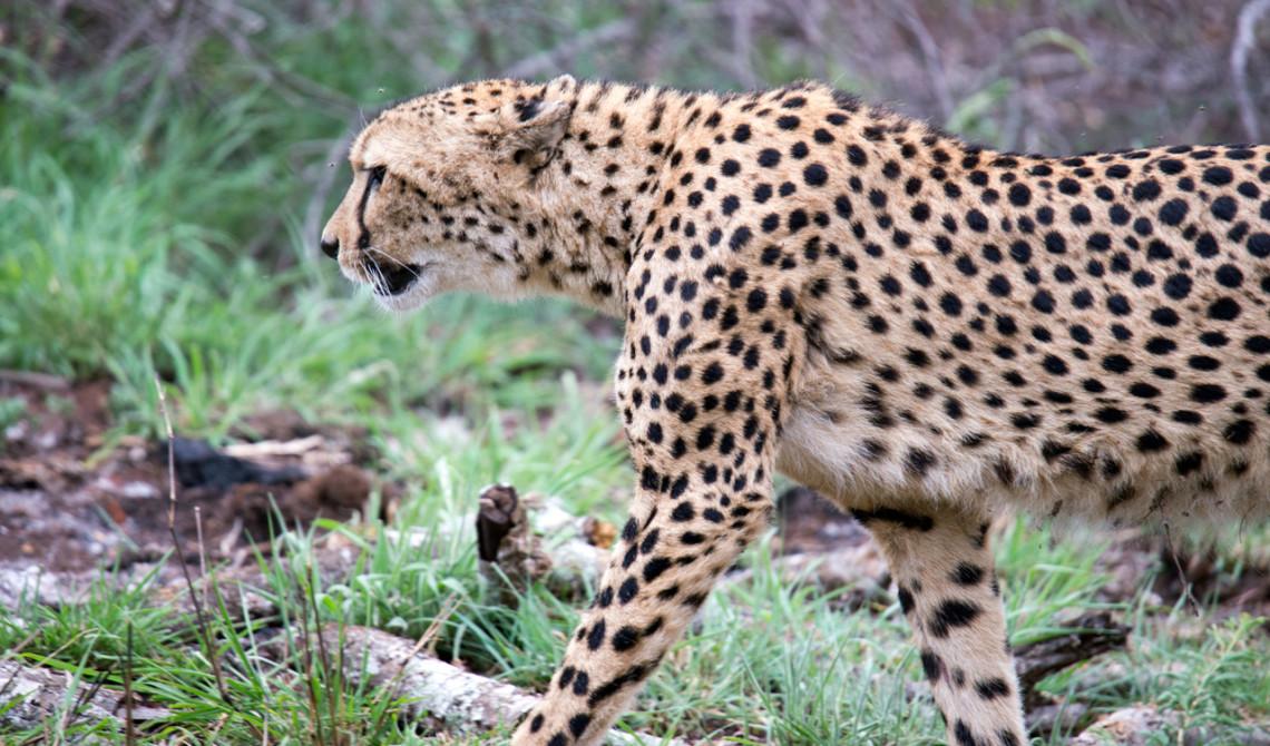 Gepard på språng, Mavela Game Lodge