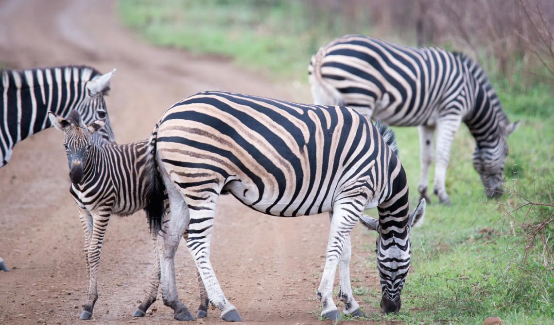 Zebror korsar vår väg, Mavela Game Lodge