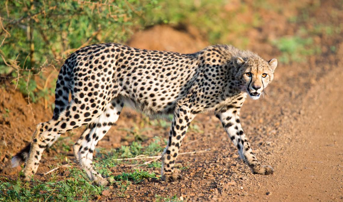 En gepard korstar framför oss, Mavela Game Lodge
