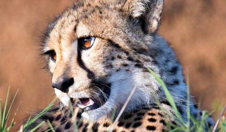 Närbild på fin Gepard, Mavela Game Lodge