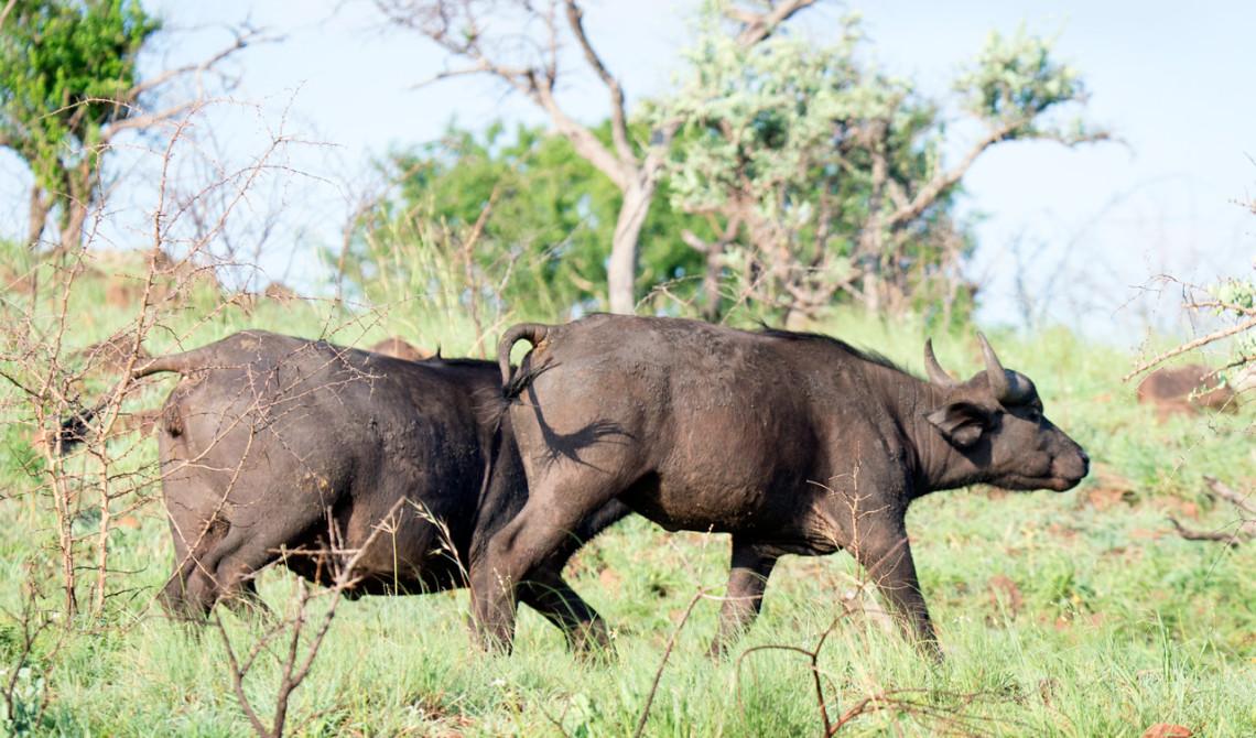 Afrikanska bufflar, Mavela Game Lodge