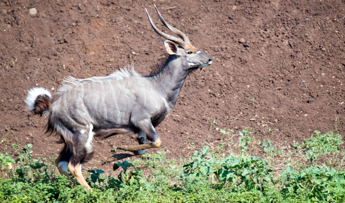 Nyala antilop springer förbi, Mavela Game Lodge