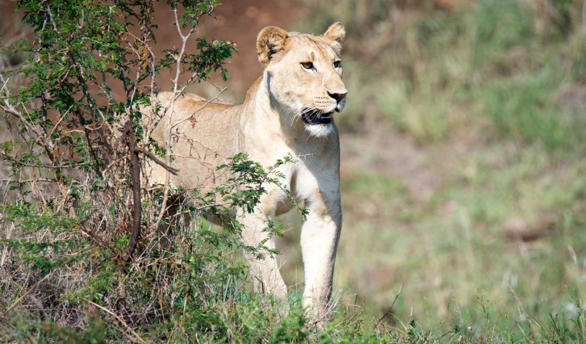 Ett lejon närmar sig, Mavela Game Lodge
