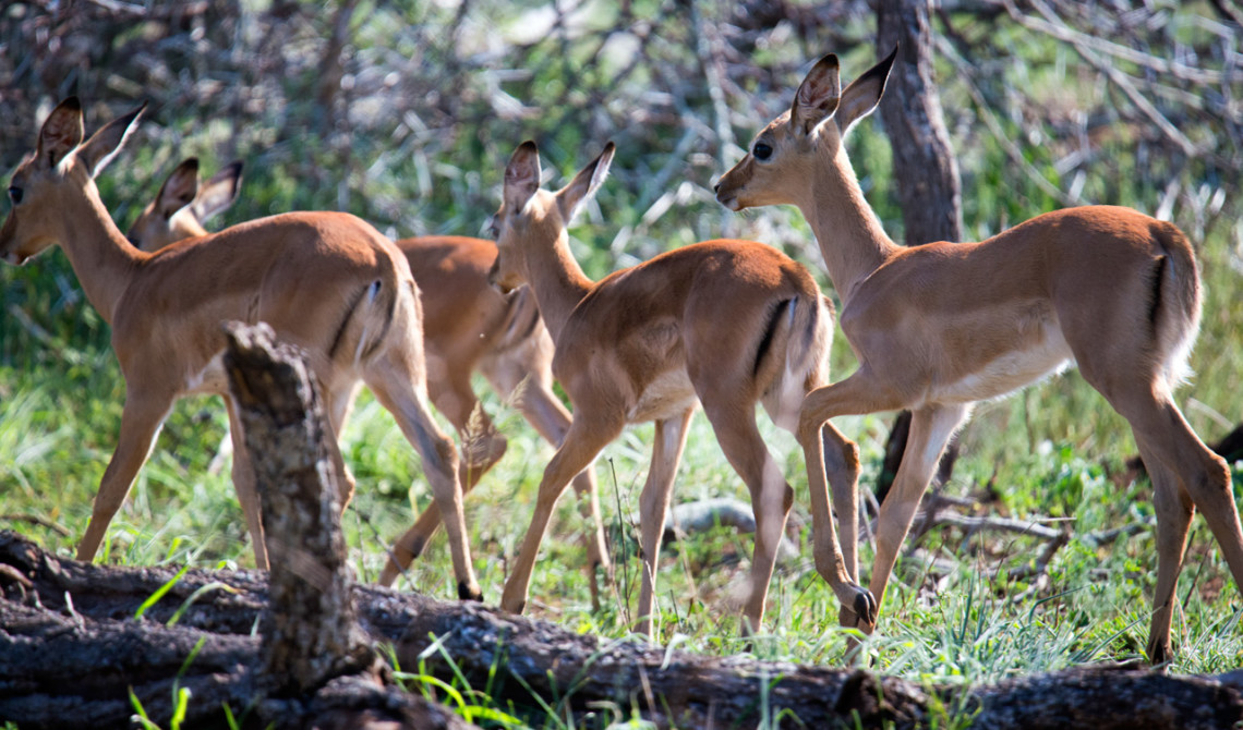 En flock Afrikanska antiloper, Mavela Game Lodge