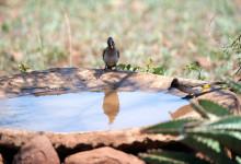 Fågelbad utanför vårt tält med frekventa besökare, Mavela Game Lodge