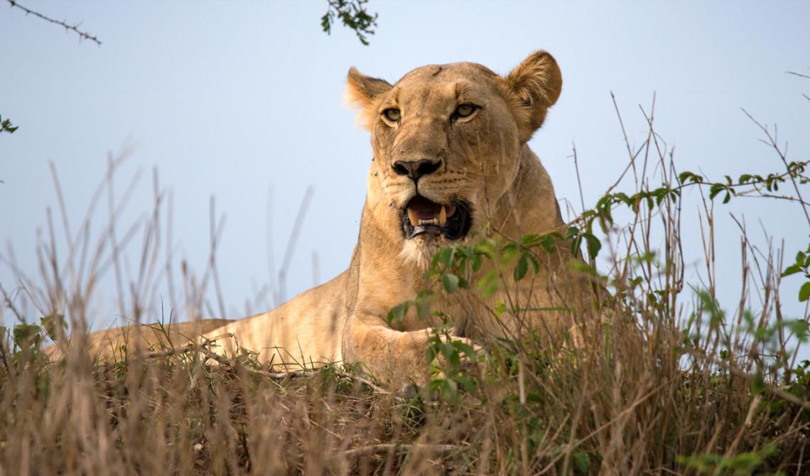 Vackert lejon ligger och spanar ut över vidderna, Mavela Game Lodge