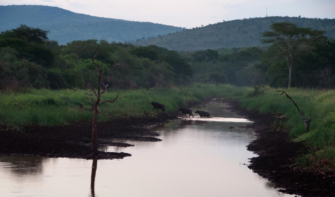 Afrikanska bufflar korsar vattnet en bit bort, Mavela Game Lodge