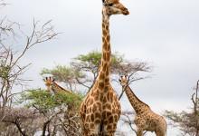 Giraffer och trädtoppar, Mavela Game Lodge
