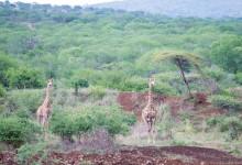 Giraffer på avstånd, Mavela Game Lodge