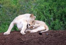Lejon slickar sin päls, Mavela Game Lodge