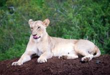 Lejon på kulle, Mavela Game Lodge