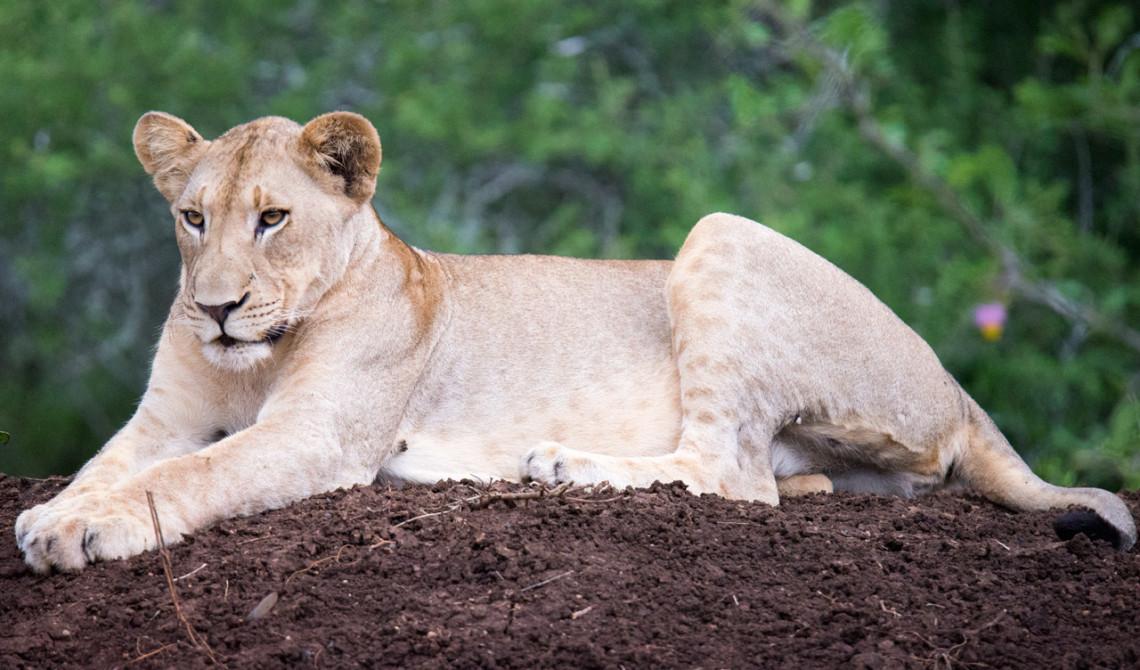 Lejonet sträcker på sig efter en stor gäspning, Mavela Game Lodge