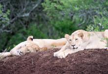 Lejon tycker om att lata sig i flera timmar, Mavela Game Lodge