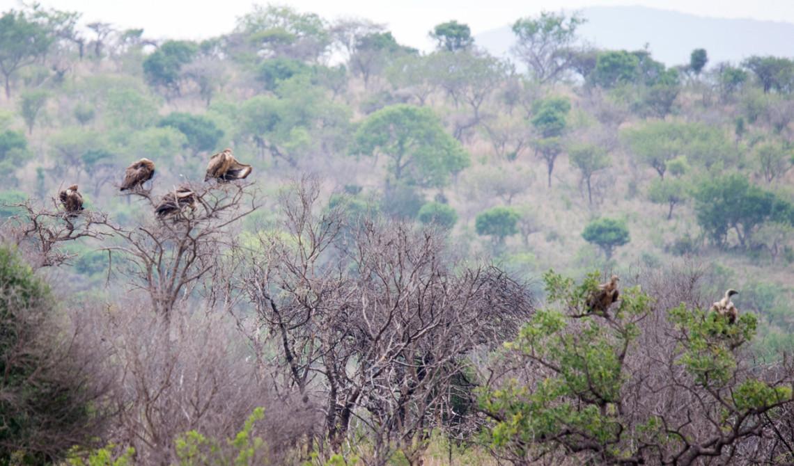Flera fåglar i träd, Mavela Game Lodge