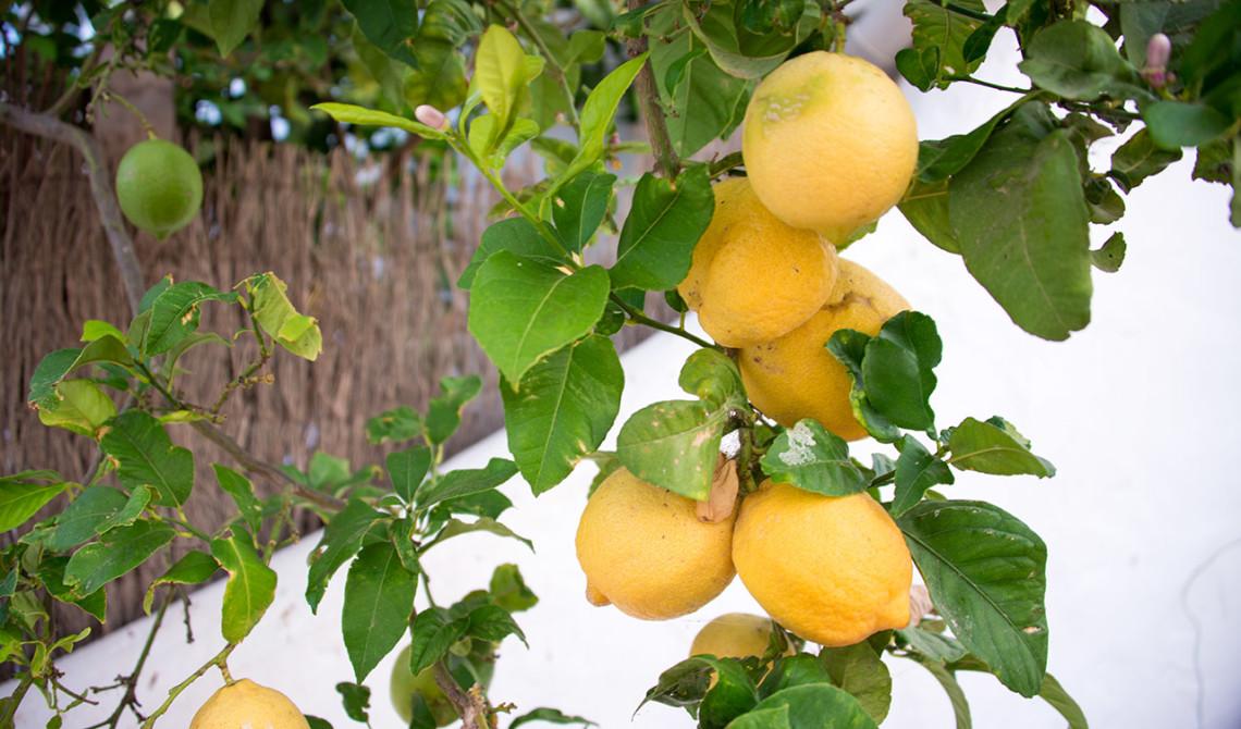 Citronträd, Monte viñas, Manilva