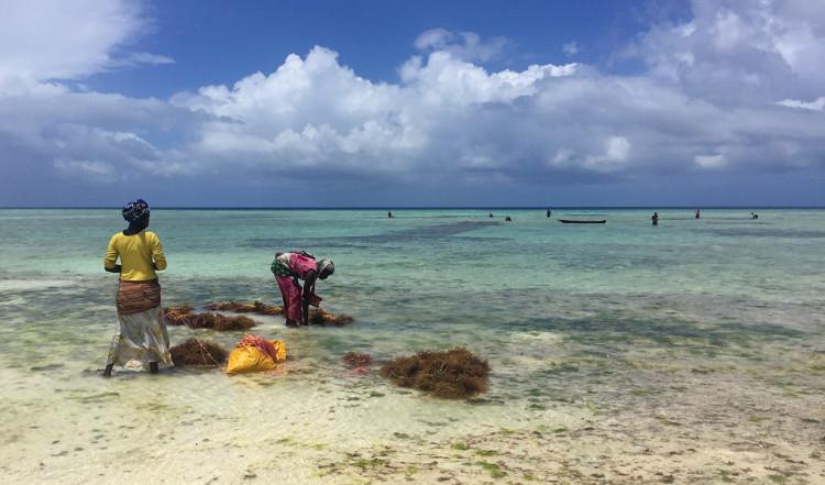 Kvinnor skördar sjögräs