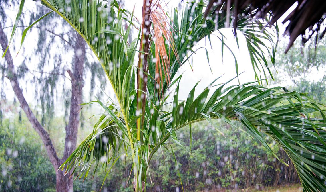 Palmträd i ösregn