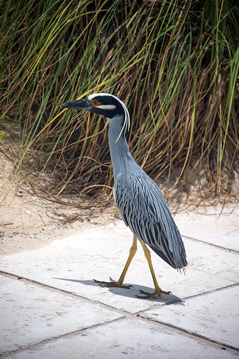 En fågel går omkring vid poolen på Windsong Resort, Turks & Caicos