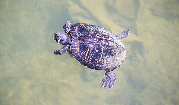Sköldpadda i vattnet nedanför en liten gångbro i La Duquesa