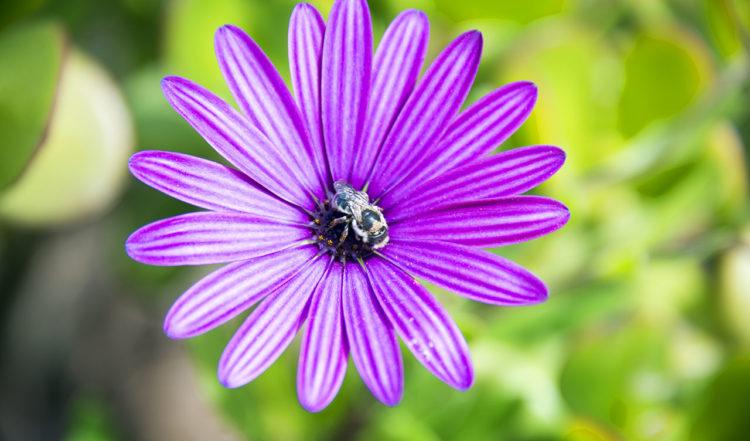Bi suger nektar ut lila blomma