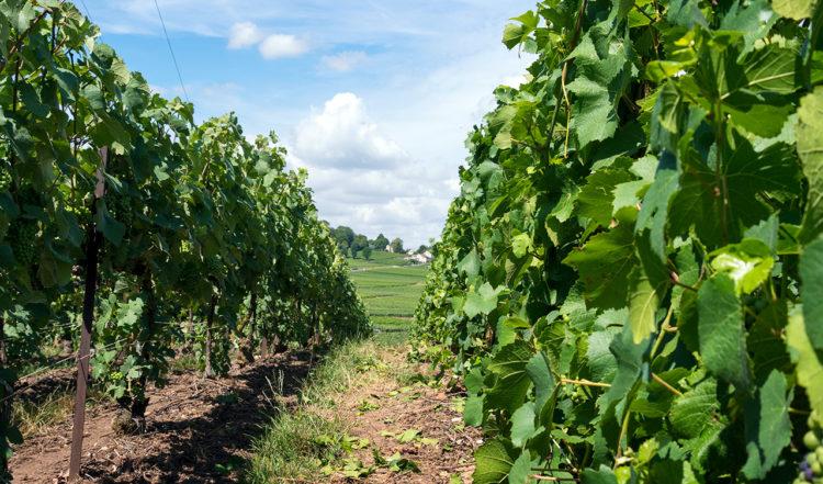 Vinrankor utanför Chigny-les-Roses