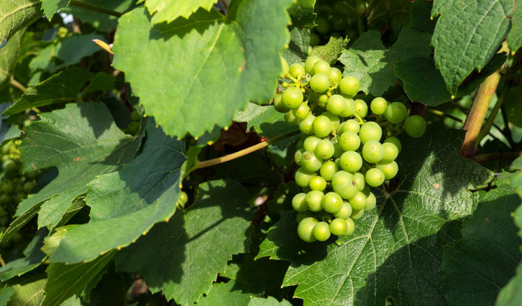 Bland vinrankorna i Cramant, Frankrike