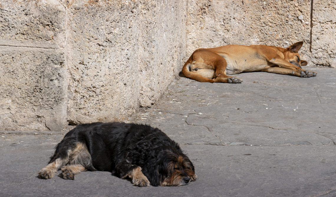 Hundar på Havannas gator